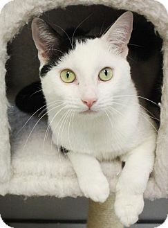 New York Ny Domestic Shorthair Meet Ashanti Manhattan A Cat