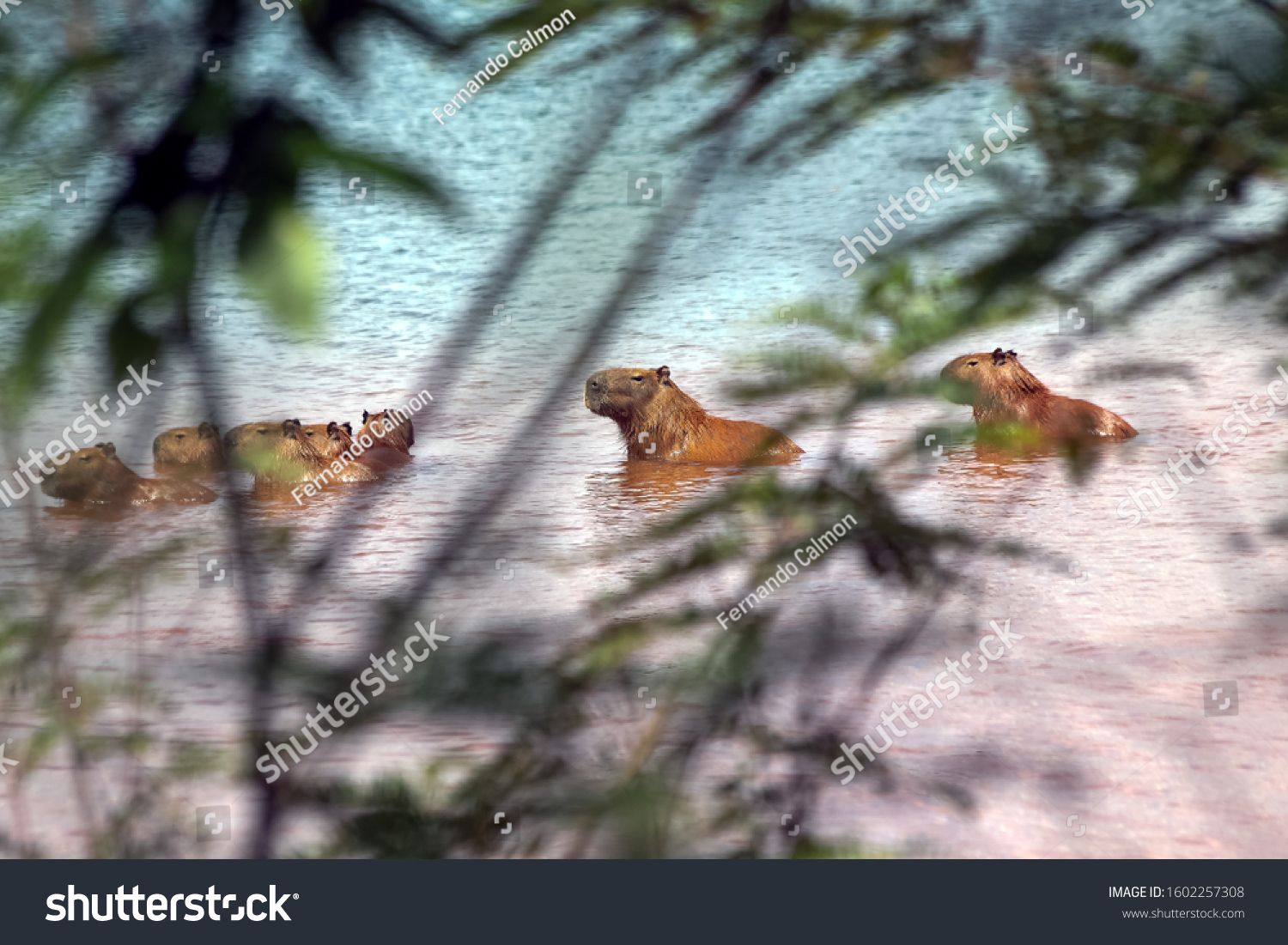 Among the bushes, a capybara family enjoys the sun and waters of Lake Parano¨¢ in Brasilia, Brazil. The capybara is the largest rodent in the world. Species Hydrochoerus hydrochaeris. Animal life. #Ad , #spon, #Lake#waters#Brasilia#Parano