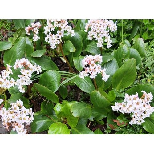 Afbeeldingsresultaat voor bergenia bressingham white