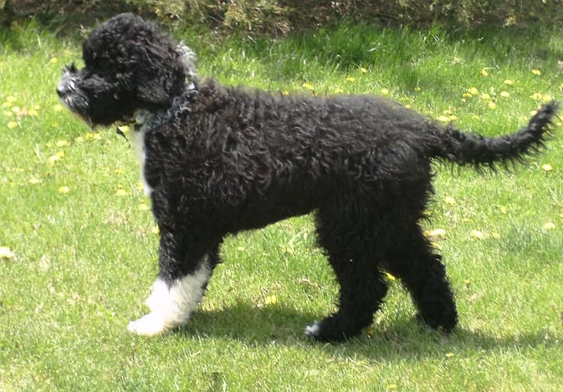 Portuguese Water Dog Dog Breed Information