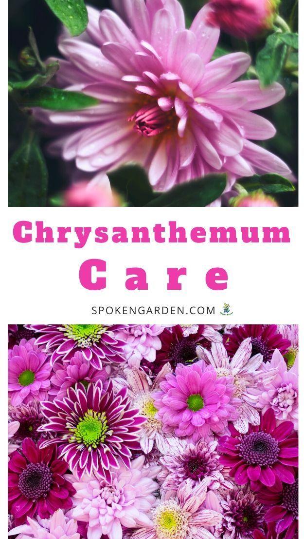 Chrysanthemum Care A Mini Plant Profile Diy Garden Minute Ep 114 Spoken Garden Chrysanthemum Care Mini Plants Summer Flowers Garden