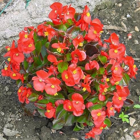 Kesabegonia Begonia Cat Plants Toxic Plants For Cats