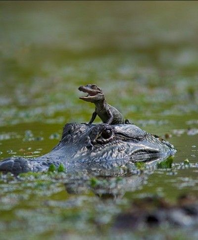 Who Says Alligators Aren T Cute This Baby Gator Hitchin A Ride On
