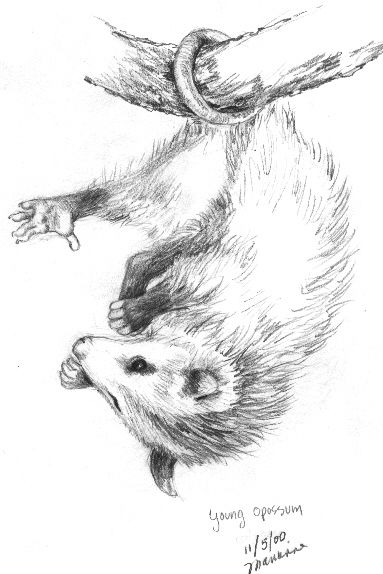 Opossum Paintings Opossum Drawing Wwwimgarcadecom Online