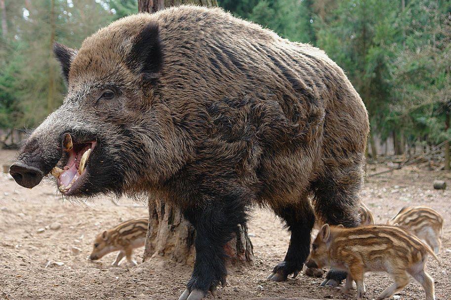 Wild Pig Wild Pig Feral Pig Wild Boar