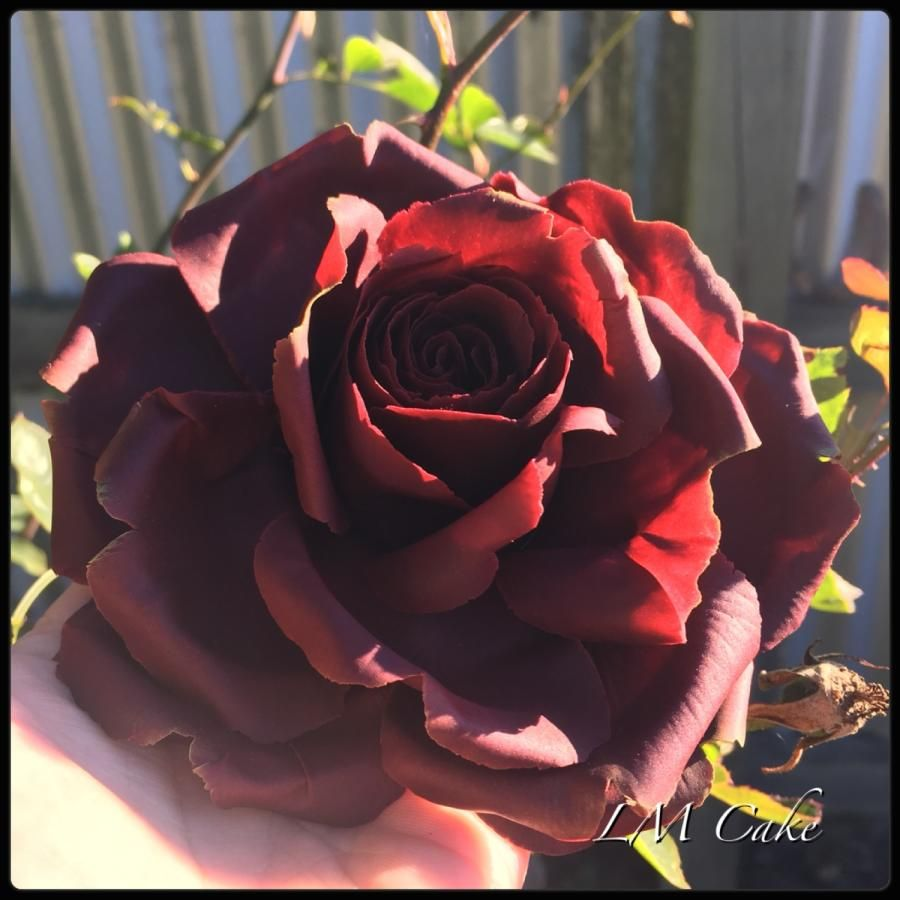 Garnet colour anniversary Rose by Lisa Templeton | flores ...