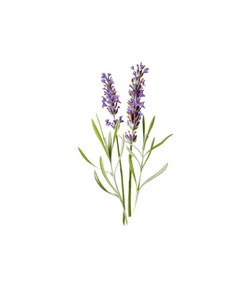 Lavender Flower herb vintage botanical print plant PNG clip art transparent background digital stamp instant download  journal -   13 table plants Png ideas