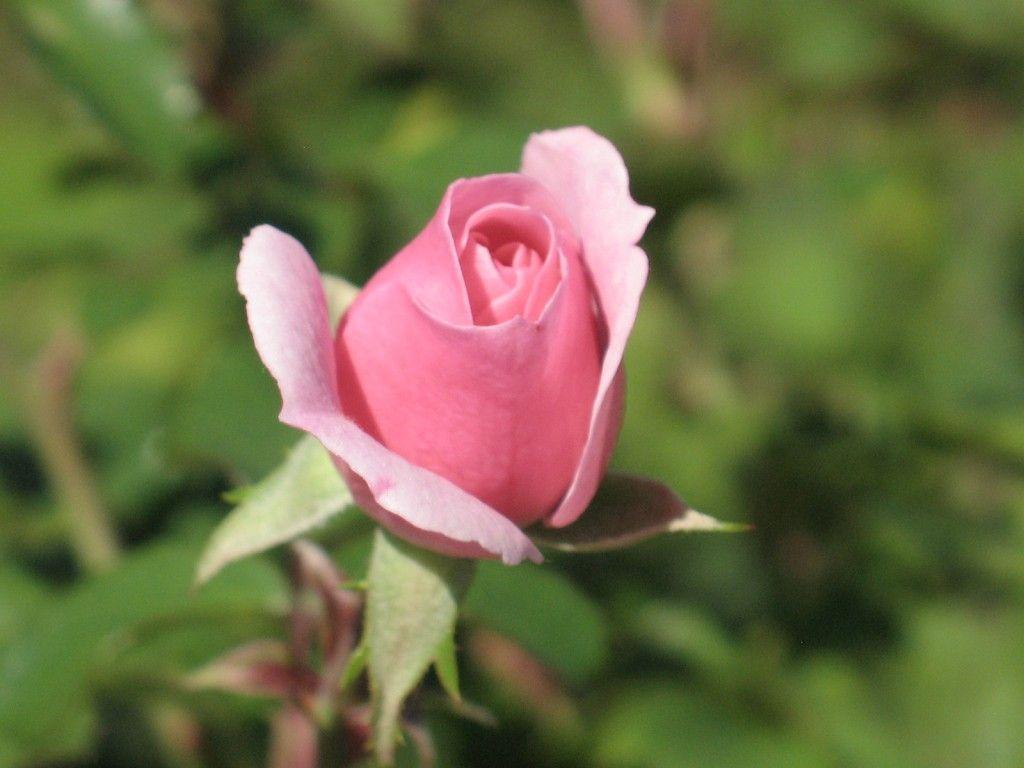 How to prune a rose bush rose bush