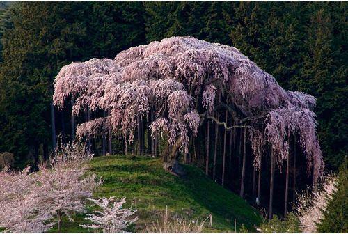 Weeping Cherry Blossom Tree Beautiful Tree Cherry Blossom Tree Weeping Cherry Tree