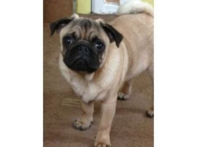 Male Pug I Have A 6 Month Old Male Pug Pugs Dogs And Puppies