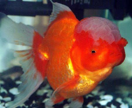 Oranda Goldfish Oranda Goldfish Goldfish Cute Fish