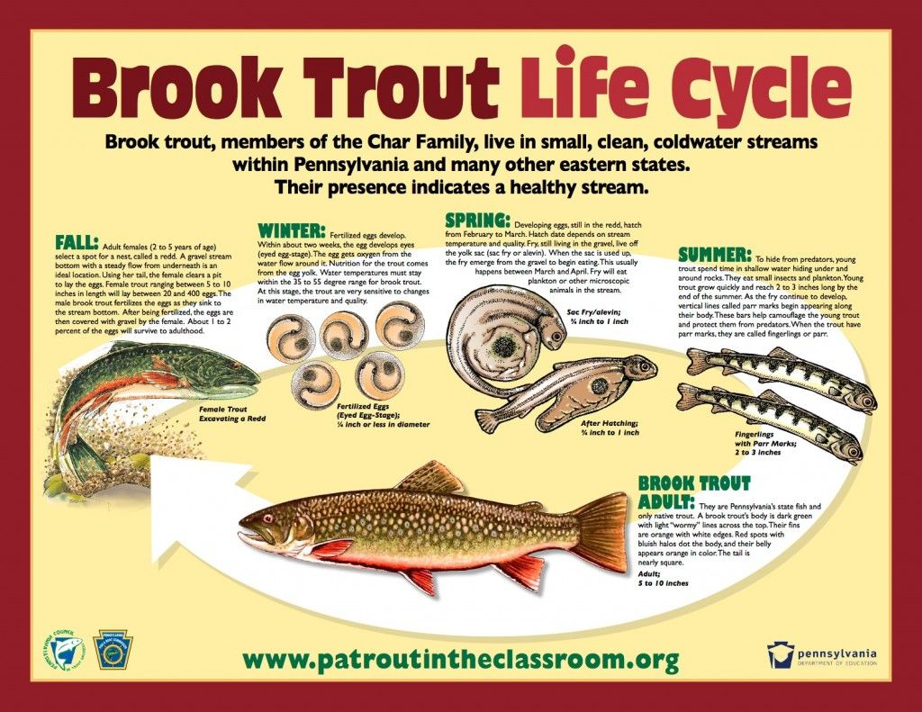 Freshwater fish life cycle - Brook Trout Life Cycle Water Study