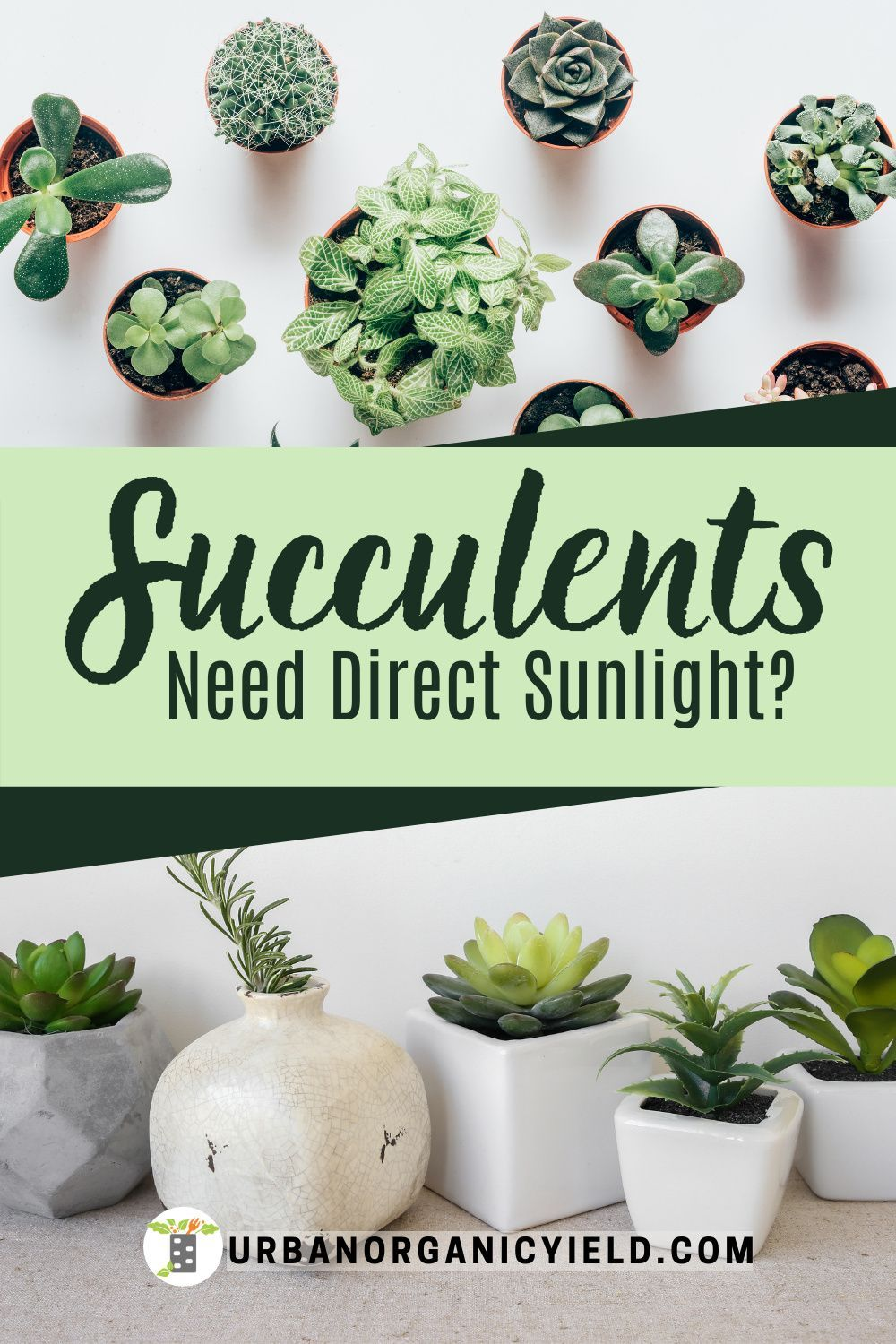 Do Succulents Need Direct Sunlight? in 2020 How to water