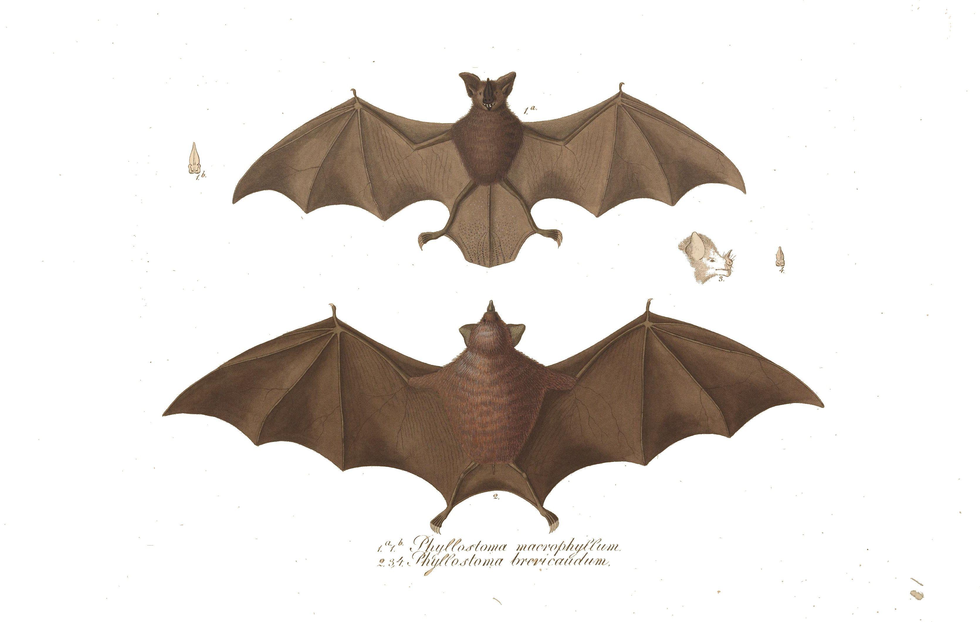 animal bat brasilian bat color drawing 3 - Bat Picture To Color
