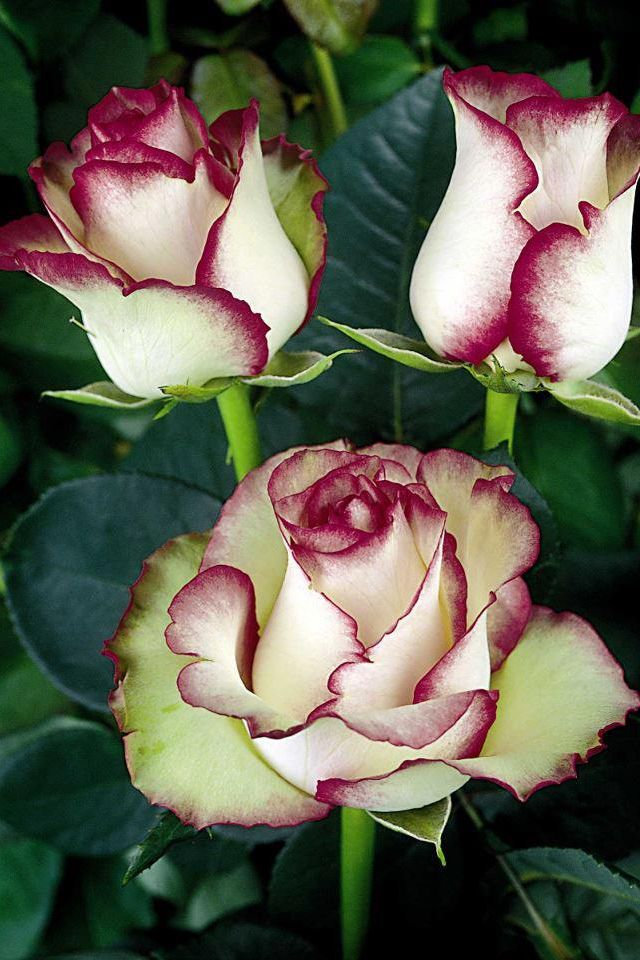 Beautiful roses white with red tips flowers and trees pinterest beautiful roses white with red tips mightylinksfo