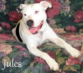 Jules Is An Adoptable Dogo Argentino Dog In Nashville Tn Name Jules Breed Dogo Argentino American Dog Adoption No Kill Animal Shelter Dogo Argentino Dog