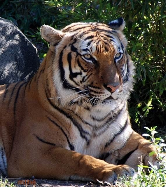Pin By Gisele 2 On Tigres Et Pantheres Pretty Cats Tigre Baby Animals