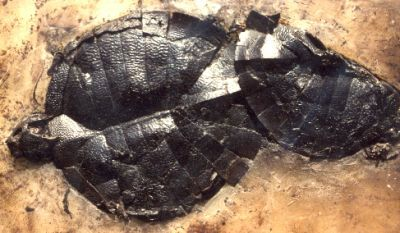 Fossilized mating turtles - creation com  they died suddenly