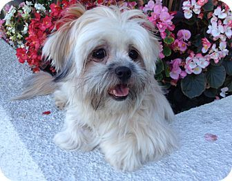 Shih Tzu Maltese Mix Dog For Adoption In Los Angeles California