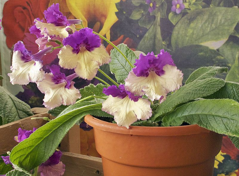 Streptocarpus (Ladyslippers) is a beautiful perennial that makes a wonderful houseplant. It likes temperatures between 55 and 80°F, not too much direct sun, and prefers a well-drained soil. Water it often enough so that it doesn't dry out completely, but don't over water: Streptocarpus plants don't like soggy roots. For best results, feed with a good fertilizer once a month.
