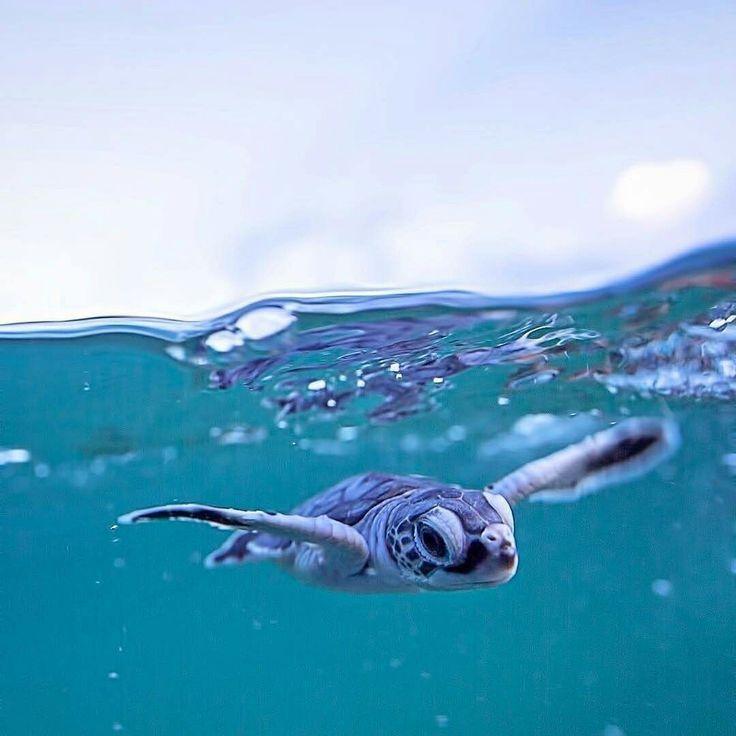 Baby Meeresschildkröte #picturesofbabyanimals Baby Meeresschildkröte