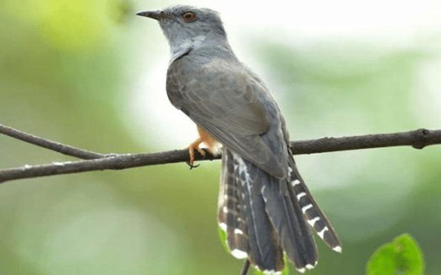 Harga Burung Kedasih Burung
