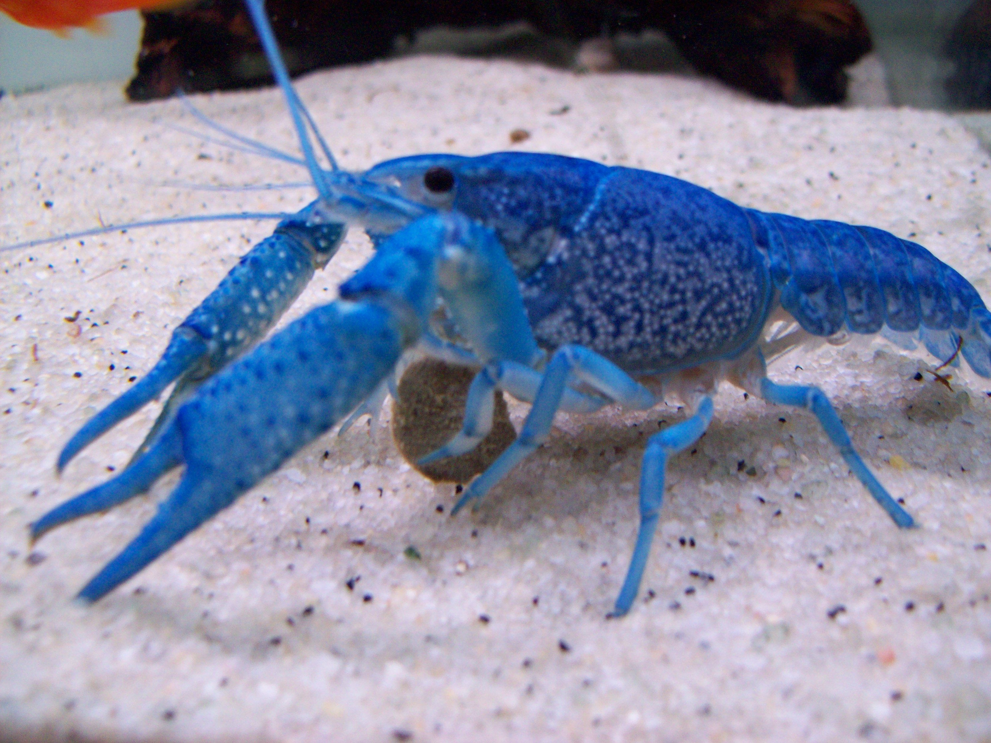 Blue lobster crayfish fish pinterest aquariums for Freshwater fish to eat