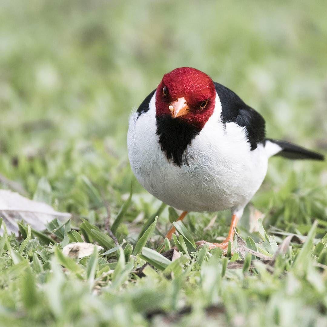 Excelente Pájaro Rojo Enojado Para Colorear Foto - Dibujos Para ...