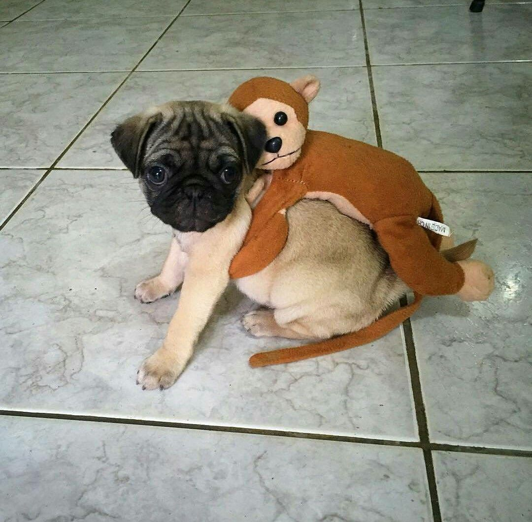 Pug With Monkey On His Back Cute Pugs