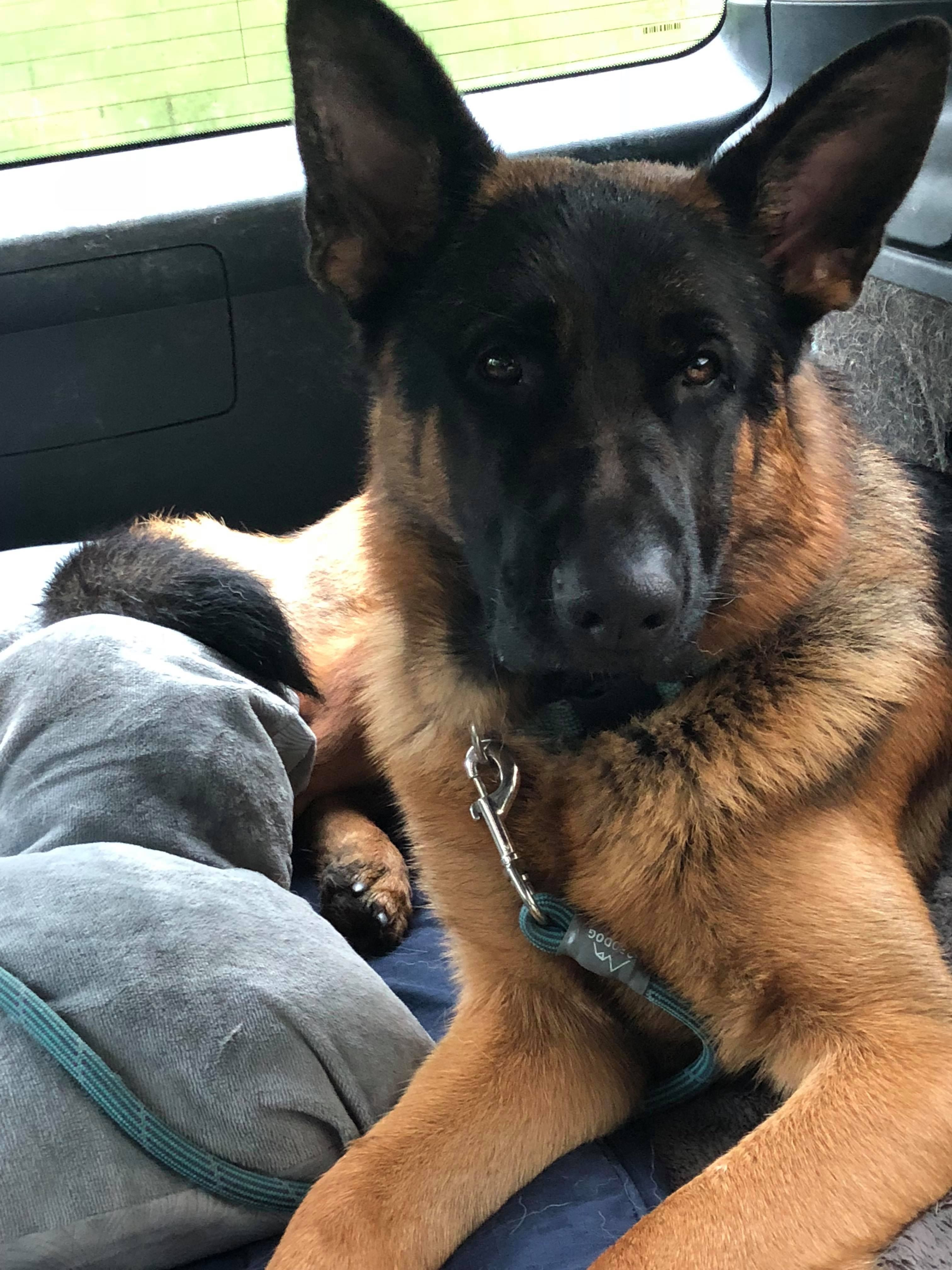 Xxon Is An Adoptable German Shepherd Dog Searching For A Forever Family Near Seattle Wa Use Petfind Dog Pond German Shepherd Dogs German Shepherd Photography