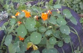 edible flowers - Google Search