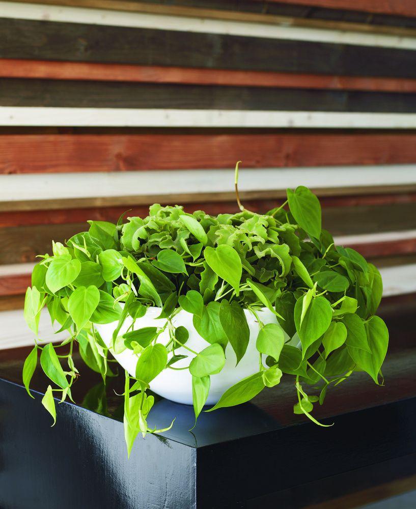 Efeututen sind rankende und pflegeleichte sch nheiten die auch mit wenig licht auskommen - Rankende zimmerpflanzen ...