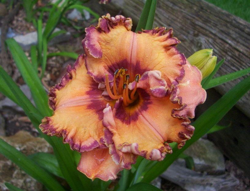 Pin by kkaymci55 on Daylilies Day lilies, Bloom, Daylilies