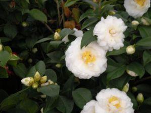 Camellia Japonica Victory White Camellia Landscape Plan White Camellia Plants