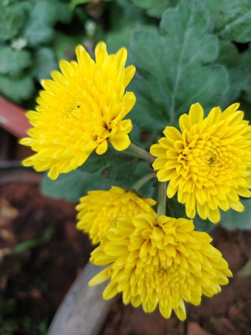 Hybrid Chrysanthemum Flowers Chrysanthemum Flower Chrysanthemum Love Flowers