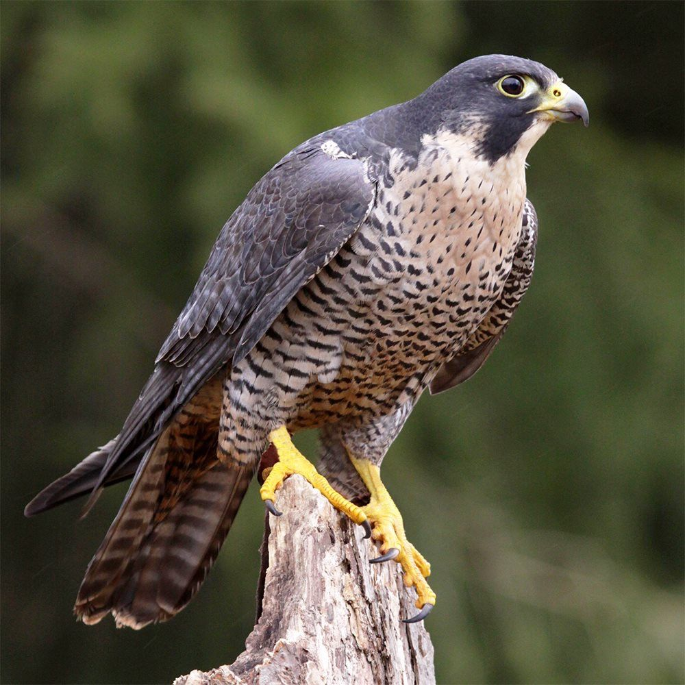 Peregrine Falcon Which Can Be Seen Throughout North America Including New England Georgia And Texas Peregrine Falcon Raptors Bird Birds Of Prey