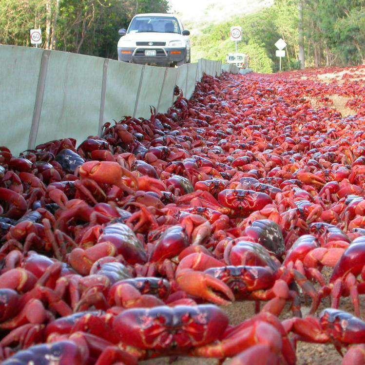 """La isla de Navidad, en mitad del océano Índico, es el hogar de más de 120 millones de cangrejos rojos que cada año proporcionan una de las imágenes más impactantes de la naturaleza. Durante la época de lluvias, estos cangrejos se mueven """"en masa"""" desde la selva con el fin de reproducirse. ¡Lo que hace el evento tan espectacular no es solo el gran número de cangrejos sino el hecho de que algunos ejemplares pesen hasta un kilo! #australia #rojo #cangrejos #migración #invasión #isladenavidad…"""