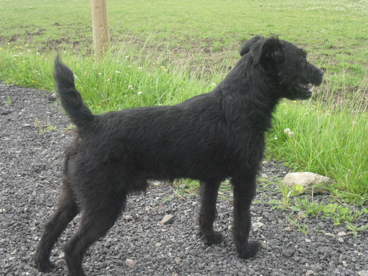 For Stud Black Rough Coated Patterdale Dog 5366a554d4815 Jpg 1280 960 Patterdale Terrier Terrier Dogs