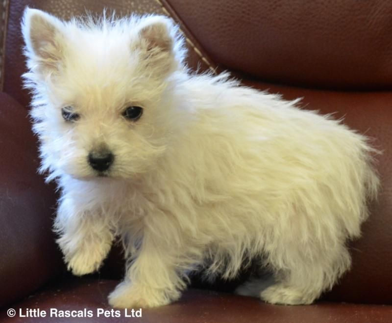 Gorgeous Pure Westie Puppies Pedigree Puppies For Sale Westie