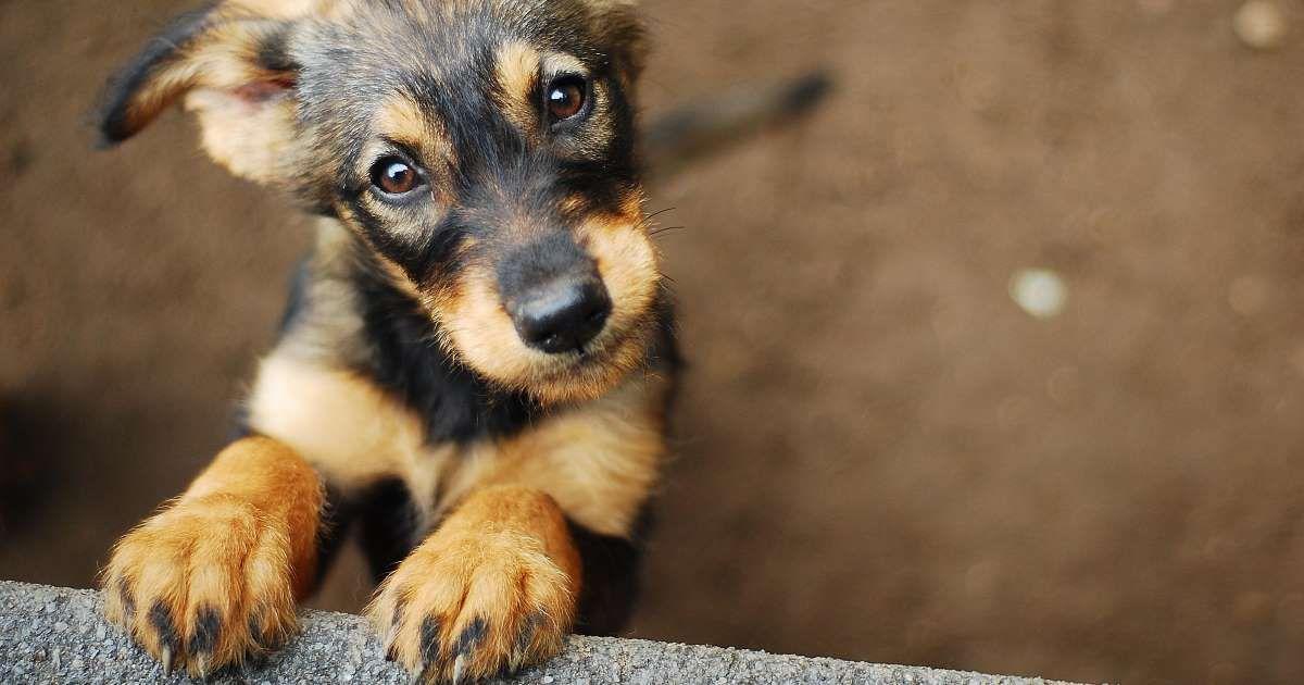 Large Dog Breeds That Dont Shed- DogVills