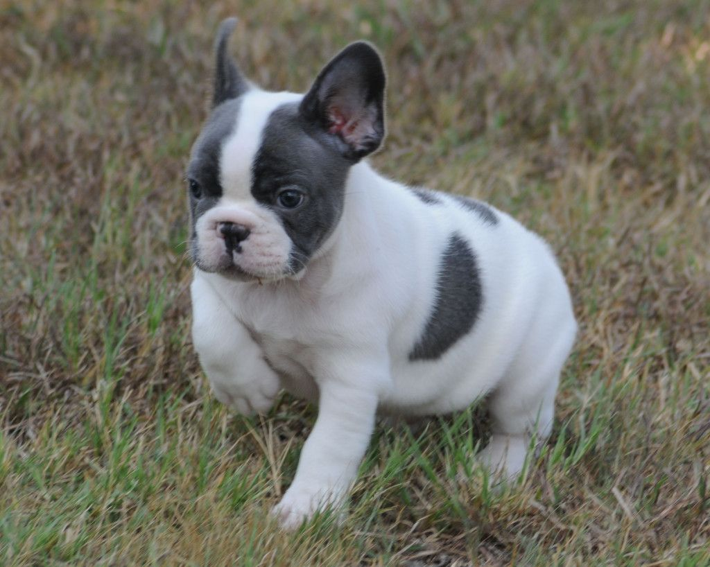 Blue Pied Boy 7 Weeks French Bulldogs By Bullistik French