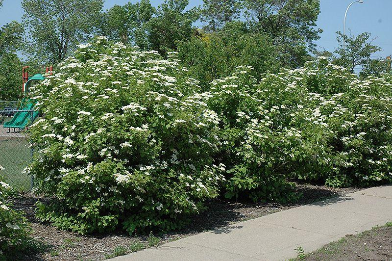Click To View Full Size Photo Of Highbush Cranberry (Viburnum Trilobum) At  Wasco
