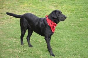 Miles Is An Adoptable Black Labrador Retriever Dog In New Fairfield Ct Miles Is Such Black Labrador Retriever Labrador Retriever Dog Retriever Dog