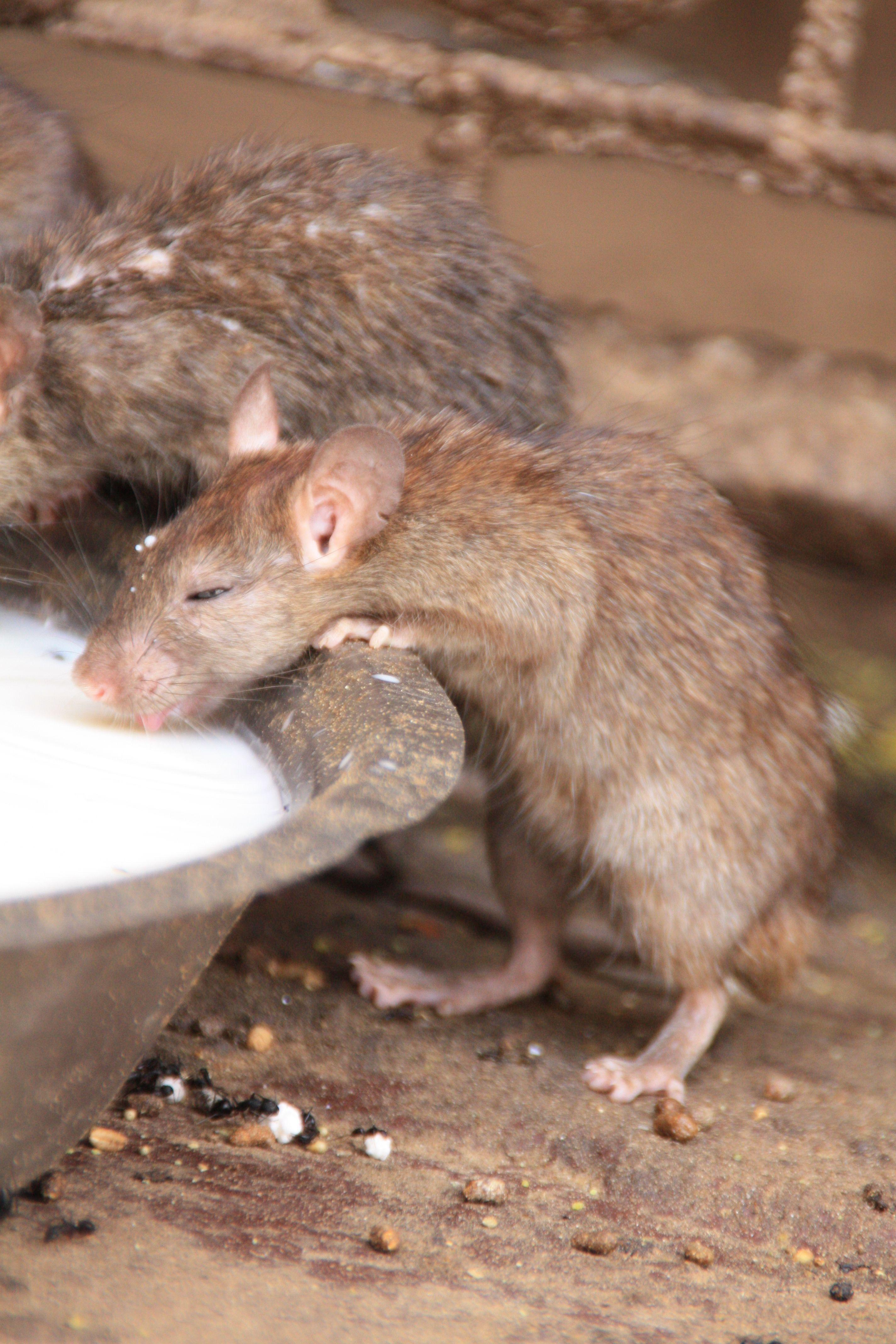 rat temple, Bikaner India