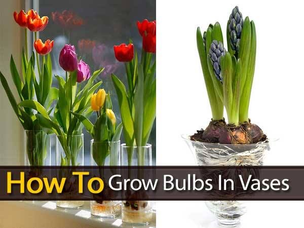 How To Grow Paperwhite Narcissus Bulbs In A Vase Green Thumb