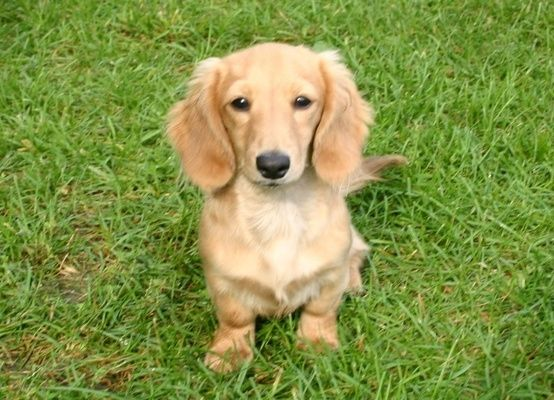 Cream Long Haired Dachshund Puppy