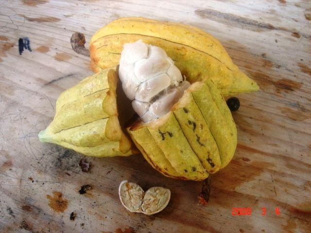 cacaovrucht met daarin de cacaoboon