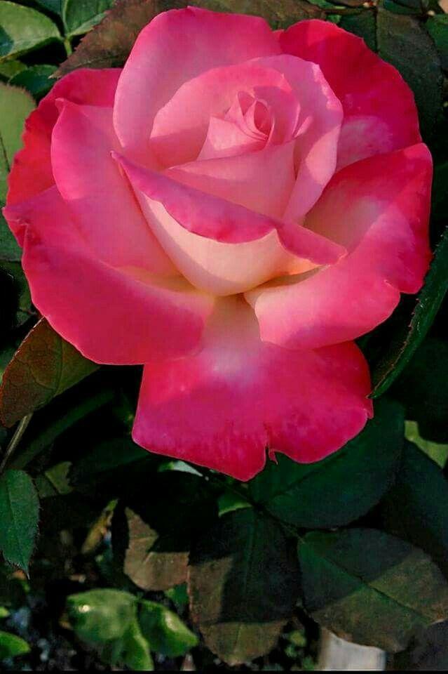 Bonita flor magenta | Pretty magenta flower - #rosado #pink