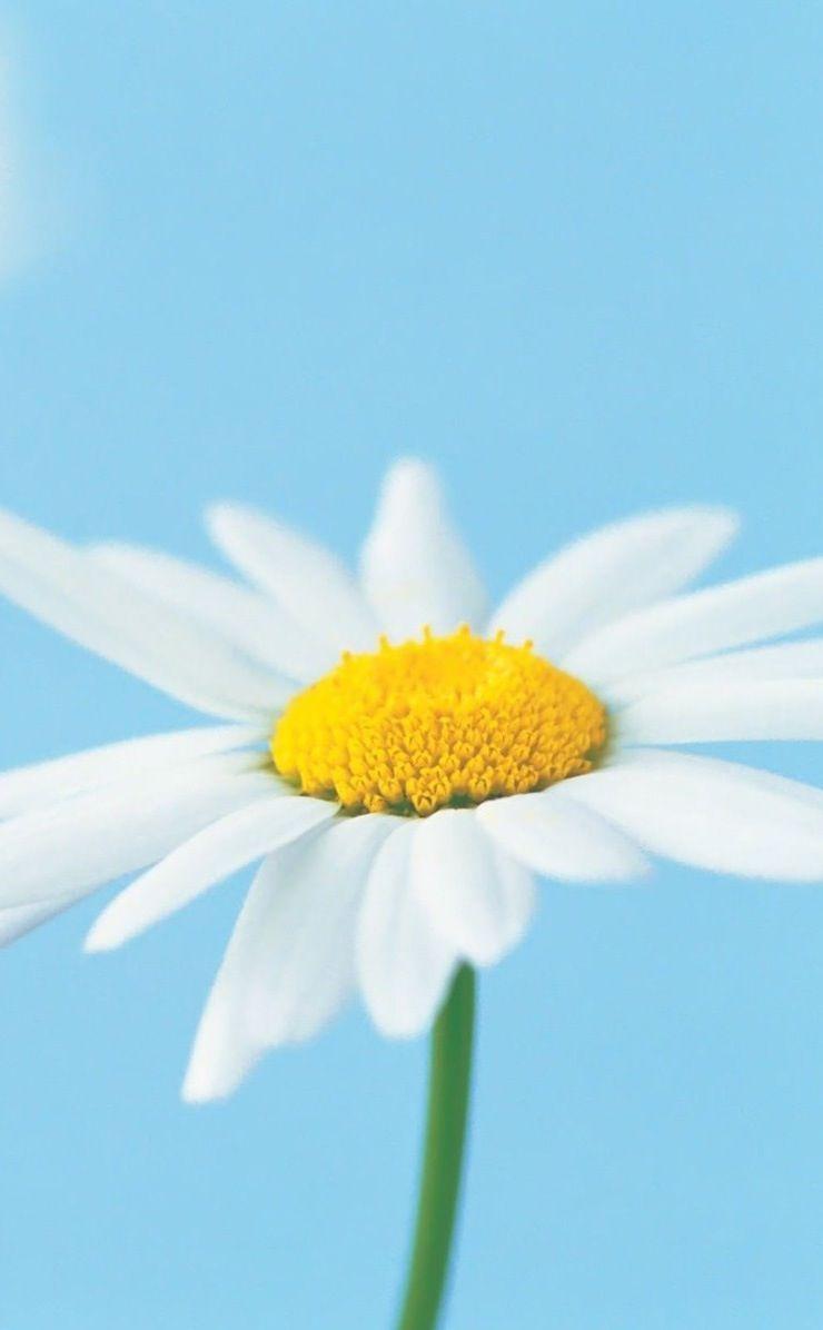 Daisy wallpaper/background/lock screen Daisy, Daisy