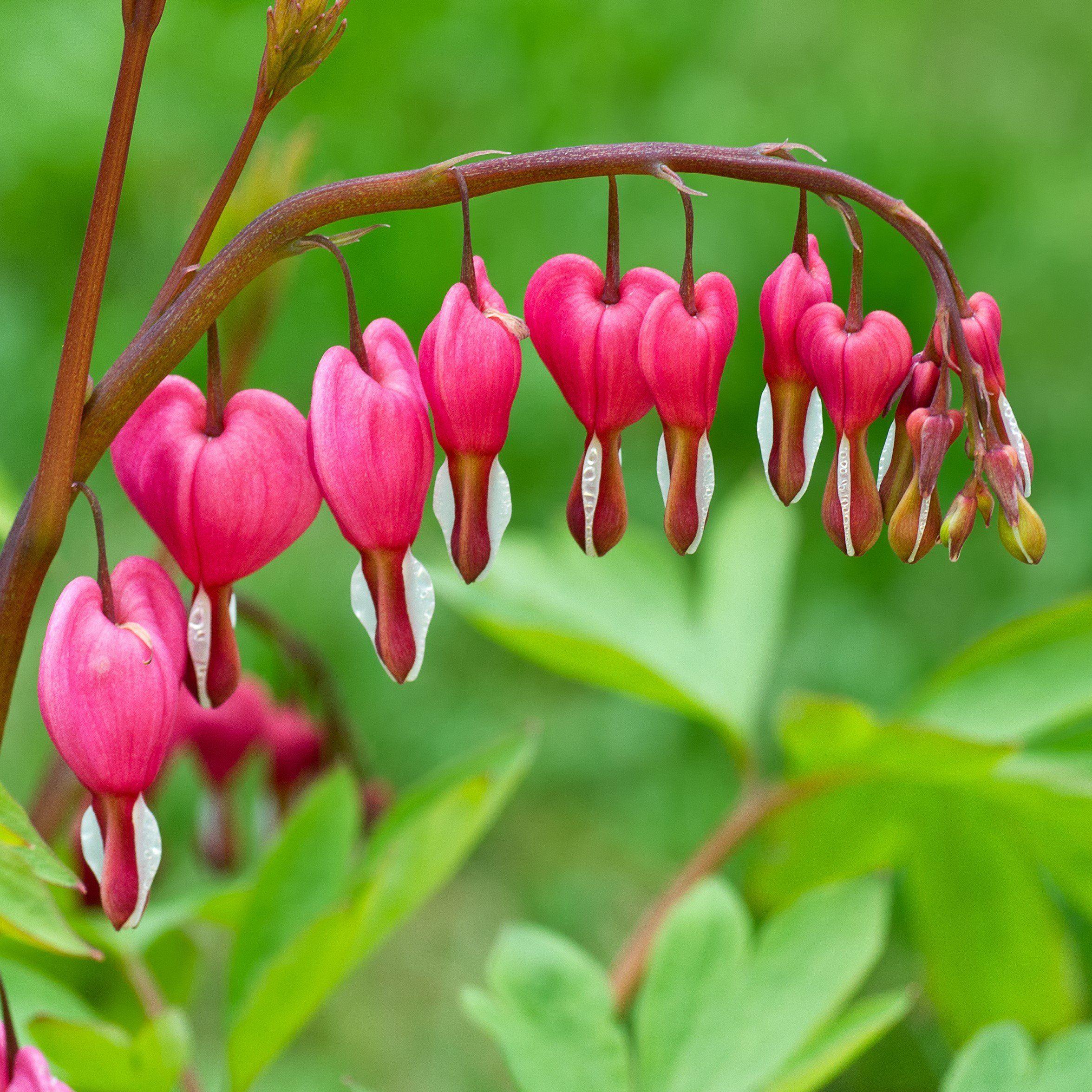 Allium Ampeloprasum Bleeding Heart Easy To Grow Bulbs Beautiful Pink Flowers
